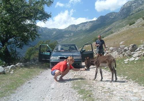 Ослов на дорогах Албании хватает