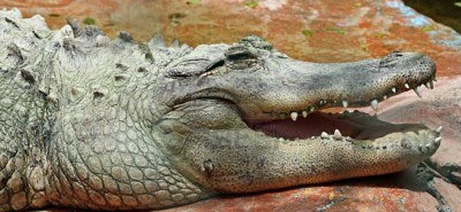 runaway-crocodile