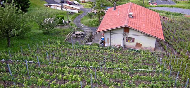 Швейцарский парапланерист приземлился на металлические опоры виноградника с закономерным исходом