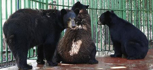 В Египте от недостатка любви стали вымирать даже медведи