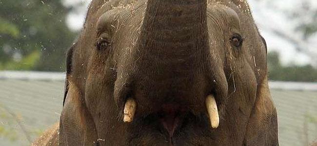 killer-elephant