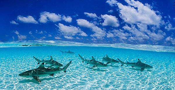 Акулы любят и ждут туристов на Реюньоне