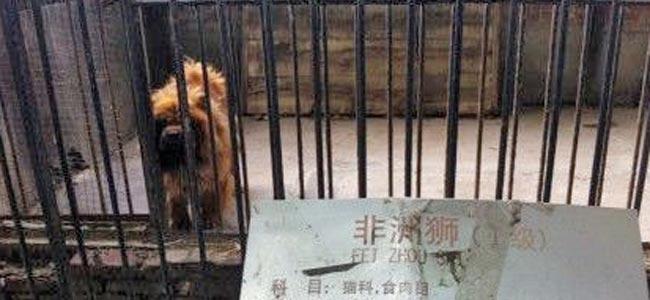 В китайском зоопарке мохнатую собаку выдавали за льва