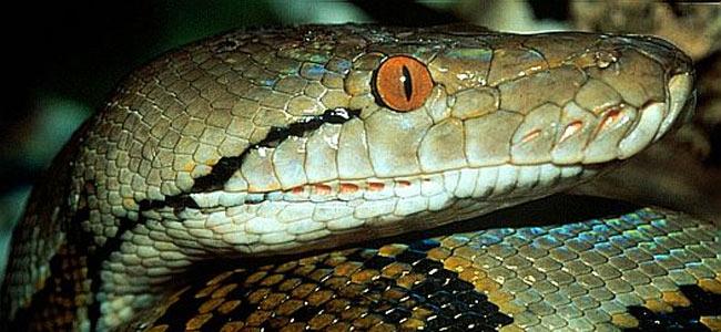 balinese-python