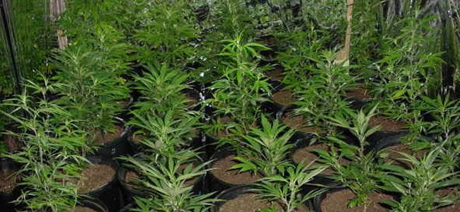 cannabis-borneo
