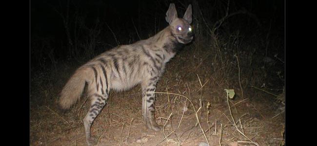 yemen-hyena