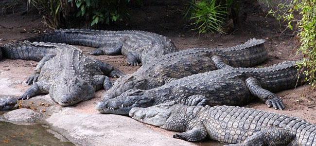 Туристические места Коста-Рики кишат крокодилами, которые не брезгуют людьми