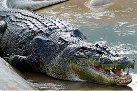 На Крите появился двухметровый крокодил
