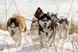Многодневные групповые программы на собачьих упряжках предлагает «Скифы тур»