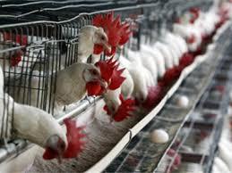 Камбоджа во власти птичьего гриппа