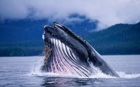 Музей, посвященный китам, открывается в Рейкьявике