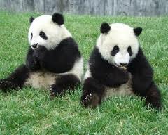 Аренда двух гигантских панд для зоопарка Таиланда продлена на 10 лет