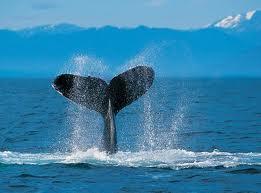 Гавайи приглашают всех любителей понаблюдать за китами