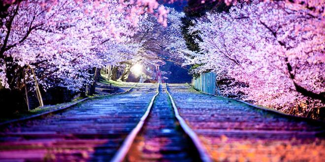 Цветение вишни начнется через 7 дней. Спешите купить билет в Японию