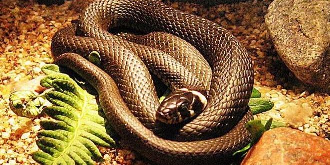 Ядовитые змеи атакую пляжи Буэнос-Айреса